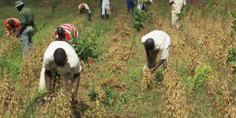 Prisoners harvest cow peas in Zimbabwe